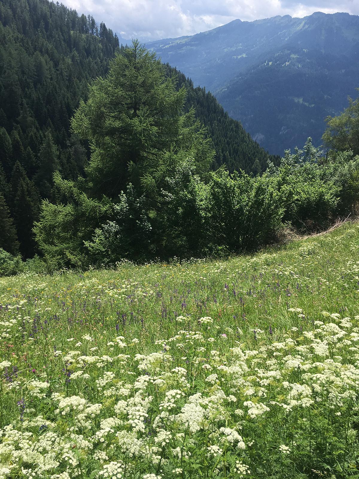 Blumenweg Kräuterwanderung Feldis (Graubünden)