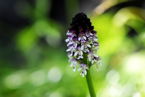 Brand-Orchis