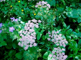 Grosse Bibernelle (rosa Doldenblütler) und Wald-Storchenschnabel (lila, links aussen)