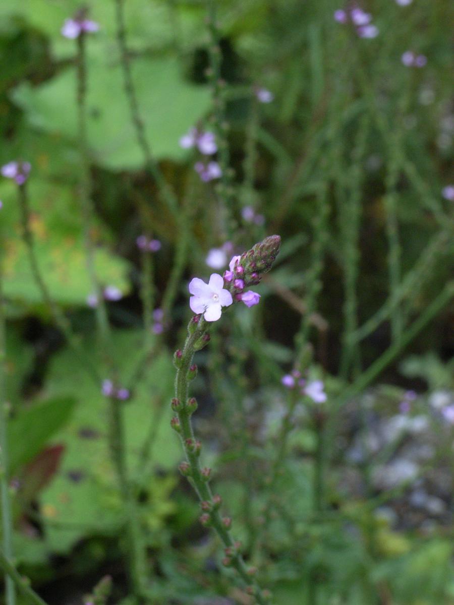 Echtes Eisenkraut, Verbena officinalis