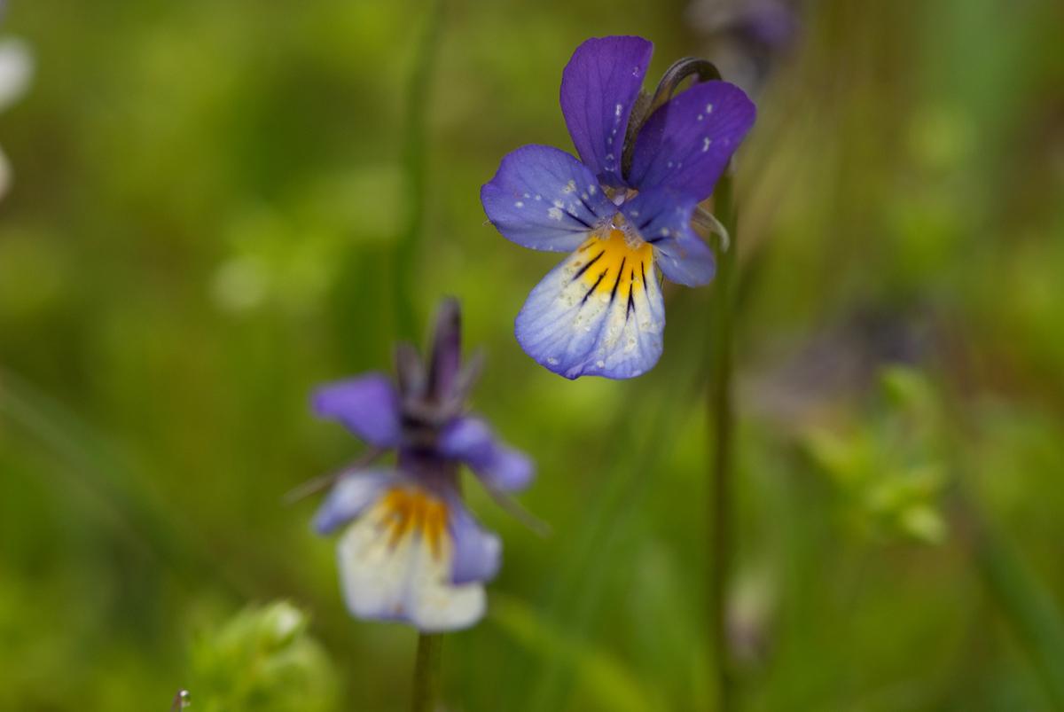 Stiefmütterchen (Viola tricolor)