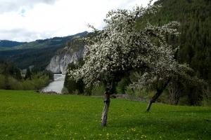 Fruehlingsbaeume Kräuterwanderung Trin / Flims
