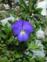 Langsporniges Stiefmütterchen, Viola calcarata