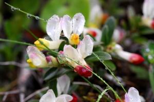Buchsblättrige-Kreuzblume