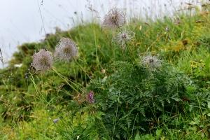 Weisse Alpen-Anemone