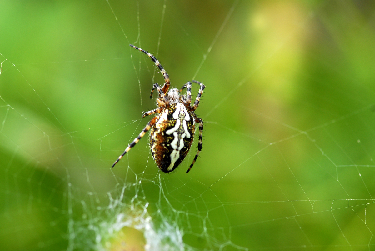 Eichblattradspinnen