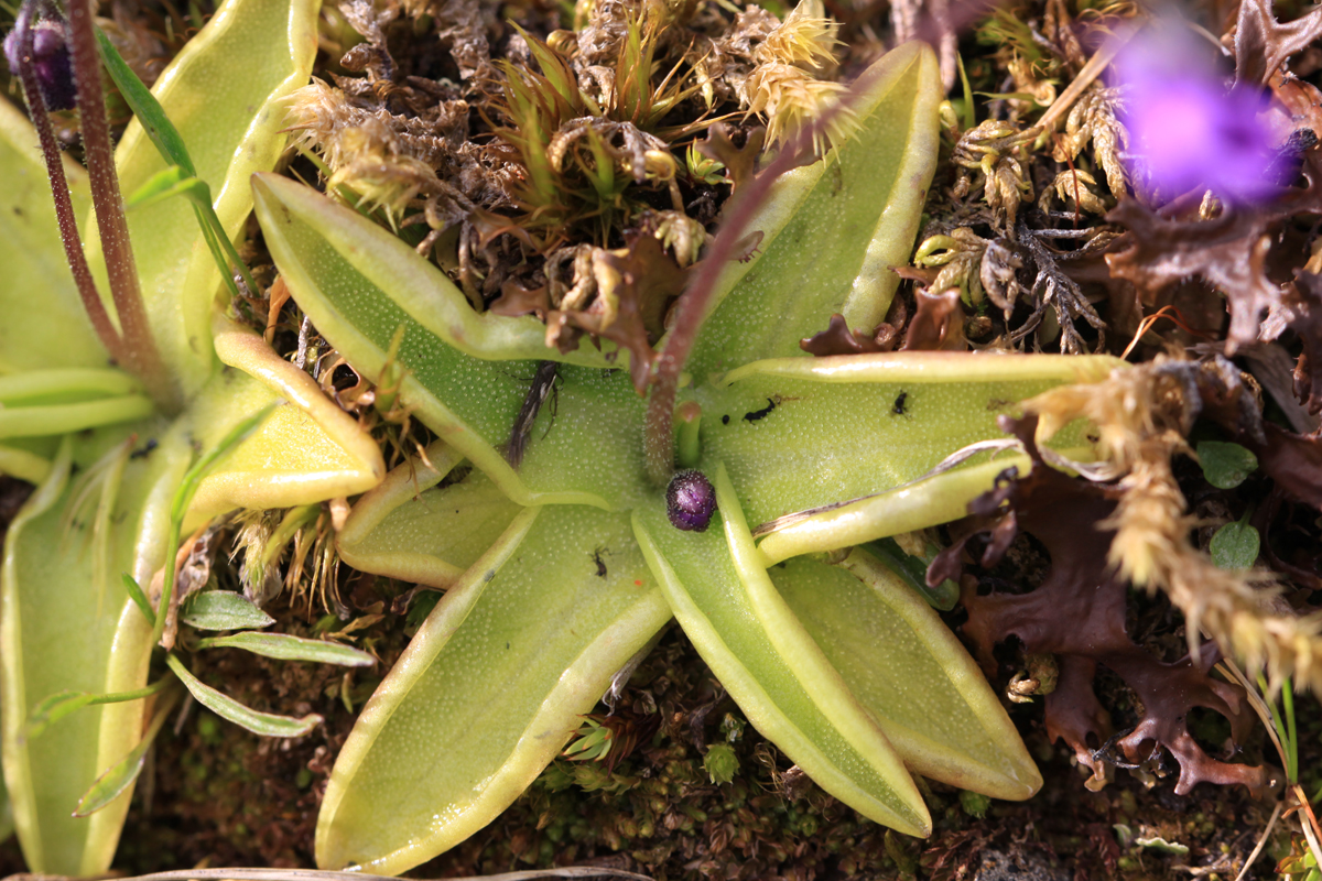 Gemeines Fettblatt (Insektenfresser)