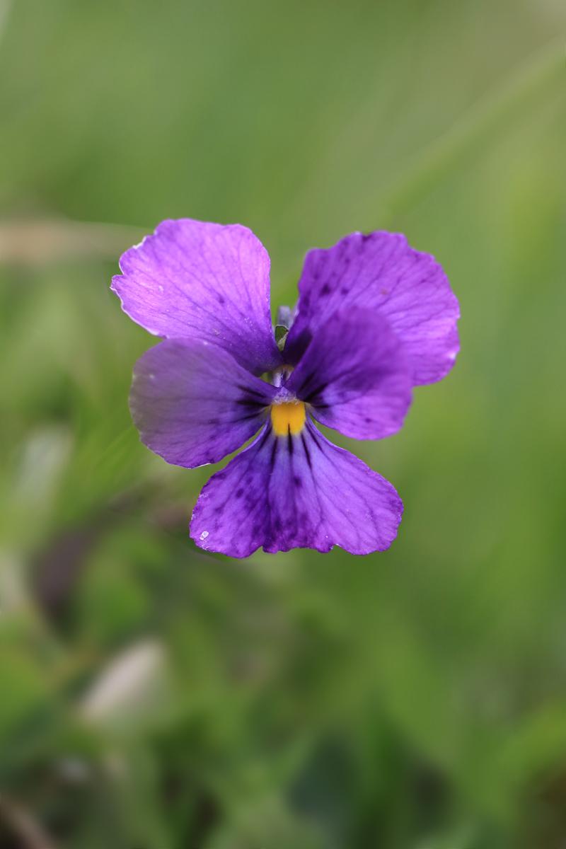 Langsporniges Stiefmütterchen, Langsporniges Veilchen, Viola calcarata
