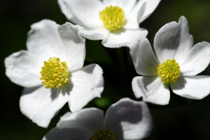 Narzissenblütige Anemone