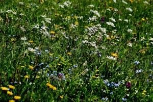Blumenwiesen Kräuterwanderung Lenk im Simmental