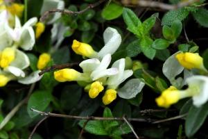 Buchsblättrige Kreuzblume