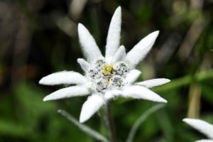 Edelweiss Kräuterwanderung Lenk im Simmental
