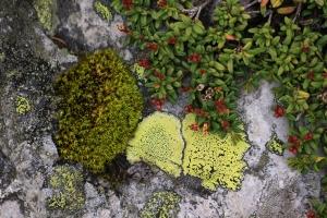 Gemsheide, Alpenazalee, Loiseleuria procumbens (oben rechts)