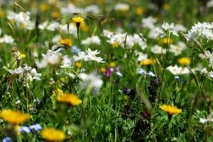 Blumenwiesen Kräuterwanderungen Lenk