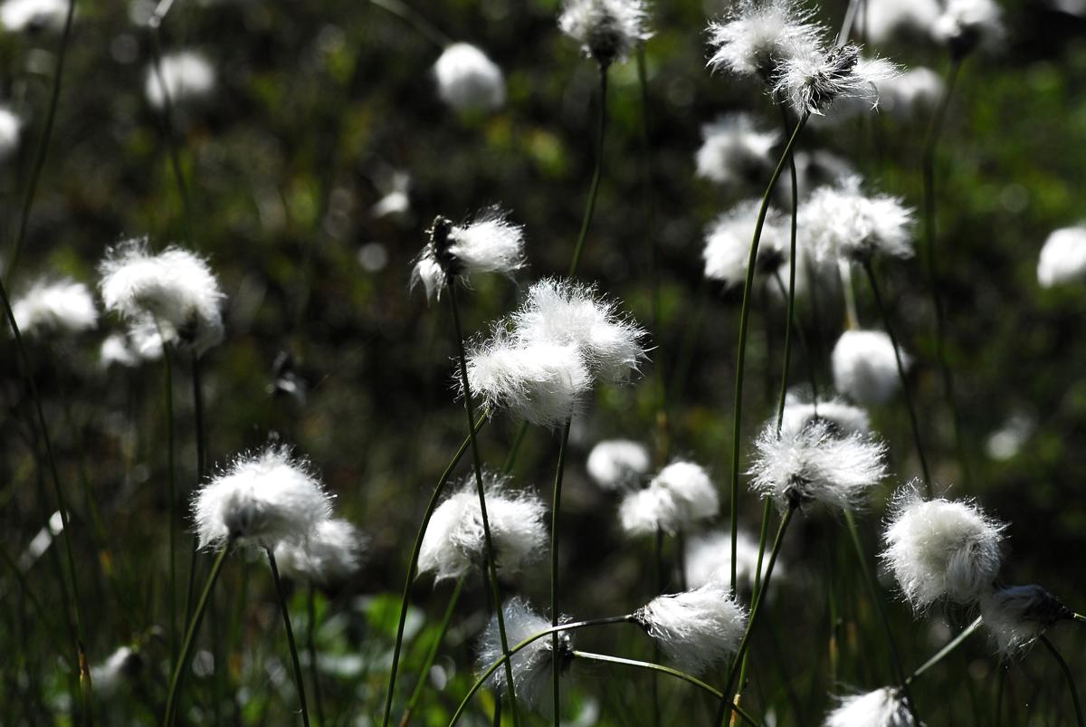 Wollblumen