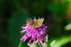 Flockenblume mit Dickkopffalter