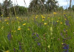 Blumenwiese im Randen