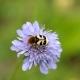 Pinselkäfer auf Witwenblume