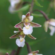 Weisse-Sumpfwurz-Epipactis-palustris